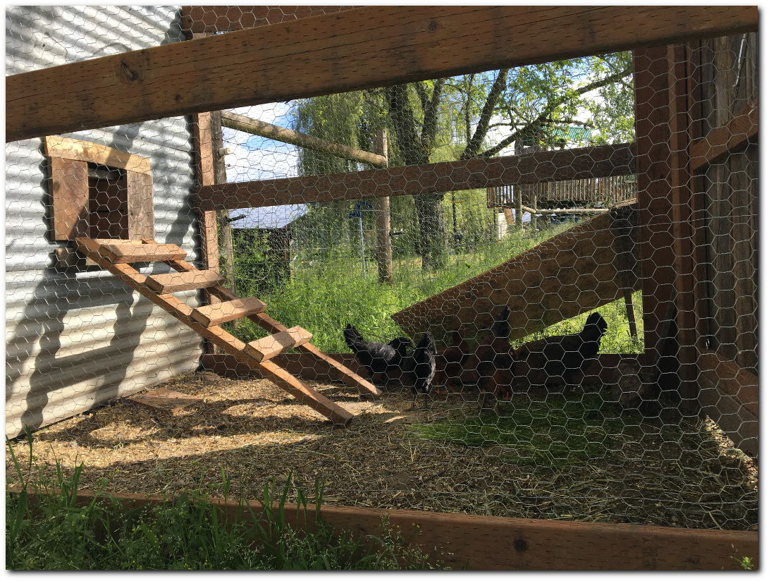 Finished Chicken run with ladder